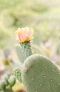 Flower of nopal cactus horizontal photo Royalty Free Stock Photos