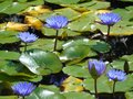 Flower nymphea blue lake watery water flowers Royalty Free Stock Photo