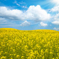 Flower of oil rape in field Royalty Free Stock Photo