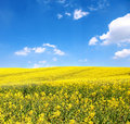 Flower of oil rape in field Royalty Free Stock Photography