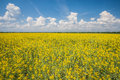 Flower of oil rapeseed Stock Photography