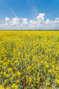 Flower of oil rapeseed Stock Photo
