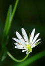 Flower opened its stamens. Stellaria graminea L. Royalty Free Stock Photos