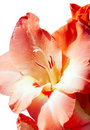 Flower of an orange gladiolus Royalty Free Stock Images