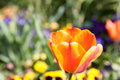 Flower of orange tulip this is a Royalty Free Stock Photo