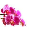 Flower orchid -  phalaenopsis Stock Photo