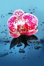 Flower orchid in water drops blossoming beautiful pink close up on backround Stock Photos