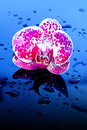 Flower orchid in water drops blossoming beautiful pink close up on backround Stock Images