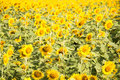 Flower outstanding in a sunflower field. Royalty Free Stock Photo
