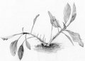 Flower a pencil drawing of euphorbia milii Stock Photo