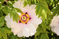 Flower peony tree big pink in shade branch Stock Photos