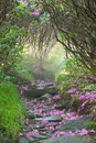 Flower petal trail tunnel roan highlands catawba rhododendron bloom petals litter the ground along the spur to grassy ridge in the Royalty Free Stock Photo