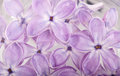 Flower petals of lilac in water abstract background Royalty Free Stock Photo