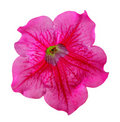 Flower of petunia Royalty Free Stock Photo