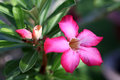Flower Pink Adenium. Desert rose Royalty Free Stock Photography
