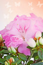 Flower of a pink azalea close up against with butterflies Royalty Free Stock Photography