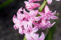 Flower of pink blossoming hyacinth in garden on green background close up Stock Images