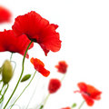 Flower, Poppy Isolated On Whit...