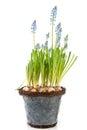 Flower pot Blue grape Hyacinths Royalty Free Stock Photo