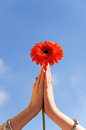 Flower in prayer hands Royalty Free Stock Photo