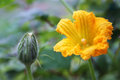 Flower of a pumpkin Royalty Free Stock Photo