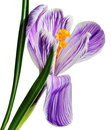 Flower of purple crocus Royalty Free Stock Photo