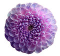 Flower rainbow violet dahlia. Dew on petals.  White isolated background with clipping path. Closeup. no shadows. Royalty Free Stock Photo
