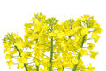 Flower of a rapeseed brassica napus isolated Royalty Free Stock Image