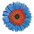 Flower  red blue Gerbera isolated on white background. Close-up. Macro. Element of design Royalty Free Stock Photo