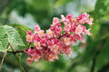 Flower of red chestnut the panicle conical Royalty Free Stock Image