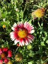 Flower Red Pink Yellow Green P...