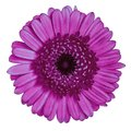 Flower  red-violet maroon Gerbera isolated on white background. Close-up. Element of design Royalty Free Stock Photo
