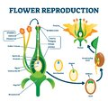 Flower reproduction vector illustration. Labeled process of new plants scheme