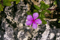 Flower on rock a pink growing a Stock Images