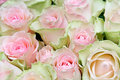 Flower rose background Stock Image