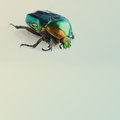 Flower rose chafer Royalty Free Stock Photo