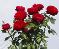 Flower rose red nature photography in sunny weather Royalty Free Stock Photos