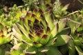 Flower Saxifraga. Royalty Free Stock Photo