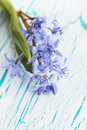 Flower scilla on the board spring blue snowdrop Stock Image