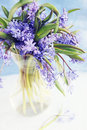 Flower scilla spring blue snowdrop in vase Stock Photos