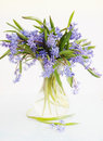 Flower scilla in vase spring blue snowdrop Royalty Free Stock Photos