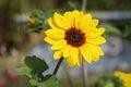 Flower Seed Helianthus Annuus ...