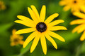 Flower of the shining coneflower rudbeckia fulgida var sullivantii goldsturm Stock Photos