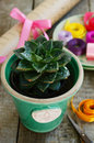 Flower shop cactus sempervivum in green pot colorful ribbons and wrappings stone rose decor wrapping paper scissors on wooden Royalty Free Stock Image