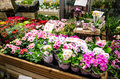Flower shop colorful primulas in a Stock Photography