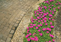 Flower on sidewalk pink common purslane Royalty Free Stock Images
