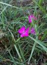 Flower Silene dioica