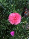 Flower small pink Stock Photos