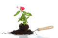 A flower in soil on a spade on a white background Royalty Free Stock Photos