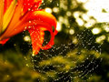 Flower and Spider Web Royalty Free Stock Photo